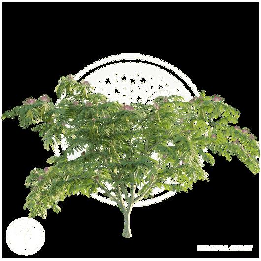 Persian_silk_tree_2.png