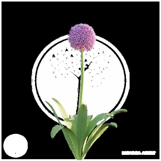 Allium.png