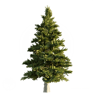 Norway_Spruce_1.png