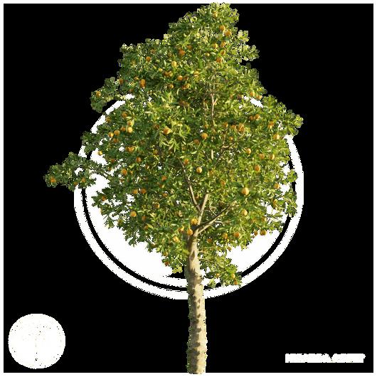 Orange_tree_2.png