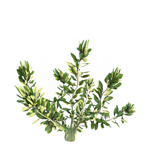 Hydrilla_2.png