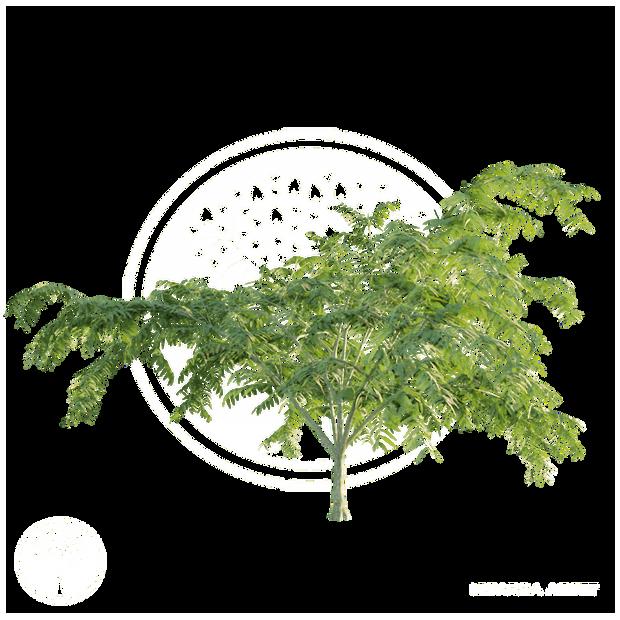 Persian_silk_tree_3.png