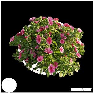 Azalea_Flowers_1.png