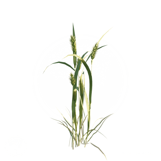 Meadow_foxtail.png