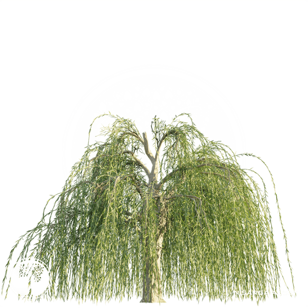 Weeping_Willow_tree_4.png