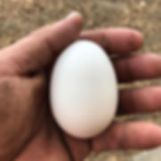 Now that's a big chicken egg.jpg