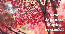Japanese maples in stock.png