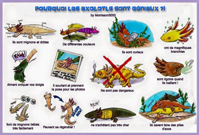 axolotls fantastique, rigolos