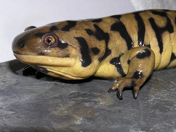 salamandre-tigrée-Ambystoma-tigrinum-ali