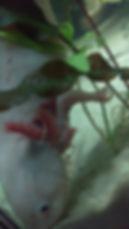 oedeme axolotl, soins, traitement
