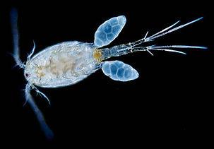 copepode, aqariumn axolotls