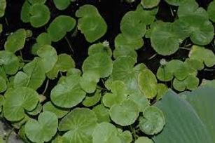 Hydrocotyle leucocephala, plantes axolotls, eau froide, sans engrais