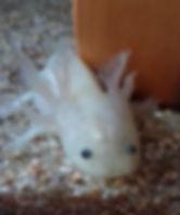 mode fantome, axolotl