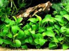 Anubia nana, plantes axolotls, eau froide, sans engrais