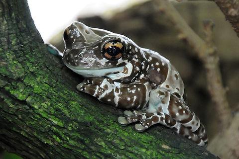 grenouille lait ou Trachycephalus Resinifictrix