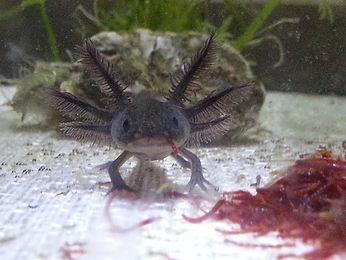 melanique noir, axolotl