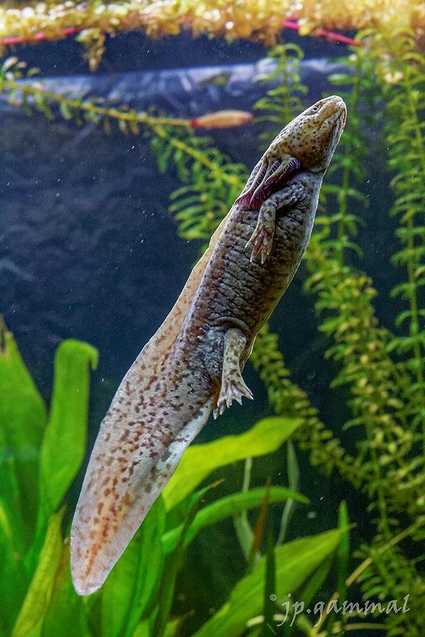 axolotl, aquarium, belles photos
