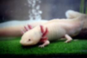 axolotl leucistique, axolotl blanc