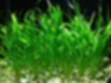 Lilaeopsis brasiliensis,plantes axolotls, eau froide, sans engrais