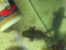 axolotl boule, axolotl nain