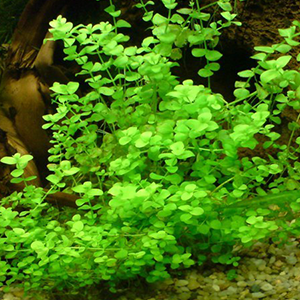 Lysimachia Nummularia,plantes axolotls, eau froide, sans engrais