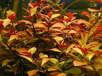 Ludwigia Repens, plantes axolotls, eau froide, sans engrais