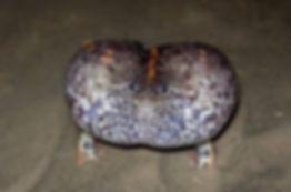 Rhinophrynus Dorsalis maintenance