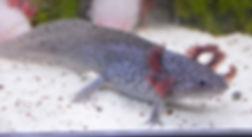 axolotl axanthique, gris