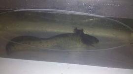 metamorphose axolotl