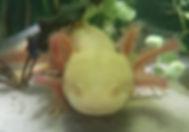 gold, axolotl jaune