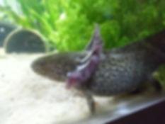 axolotl sauvage, wild