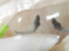 evolution jour apres jour oeufs axolotls