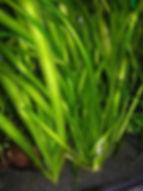 vallisneria gigantae,plantes axolotls, eau froide, sans engrais