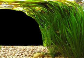 vallisnerias, plantes avec axolotls