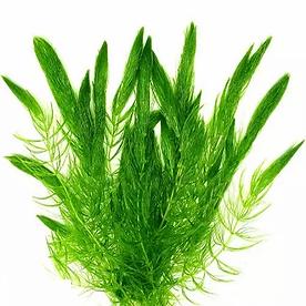 ceratophyllum-demersum.webp
