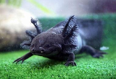axolotl noir, melanique noir