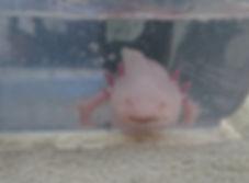 Anidoc' Clinique Vétérinaire, opération d'un axolotl, rétention d'oeufs