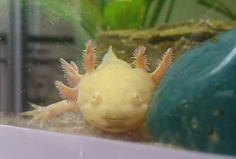 chitridiomycose, photo, axolotl
