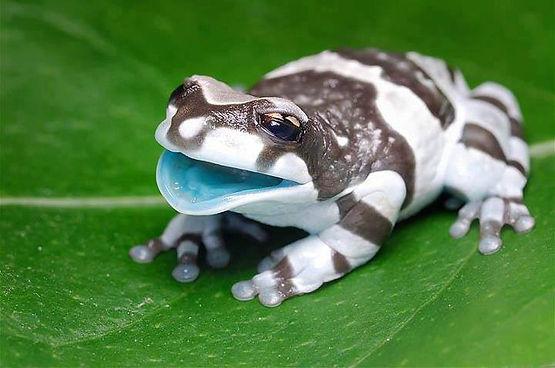 grenouille-lait2.jpg