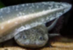 belles photos axolotls
