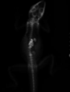 soin cataracte grenouille, Physignatus coccinus,dragon d'eau
