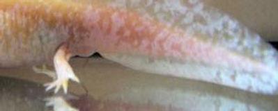 axolotl femelle
