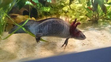 ponte axolotl
