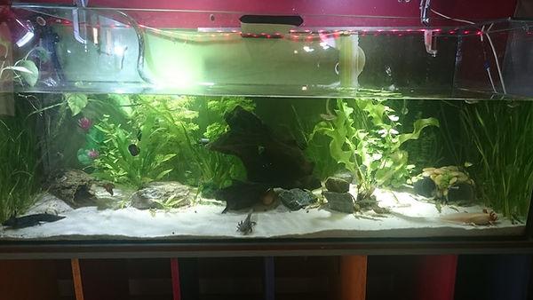 aquarium axolotls