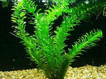 egeria densa, plantes axolotls, eau froide, sans engrais