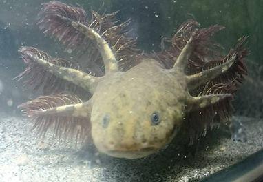 anatomie axolotl, morphologie