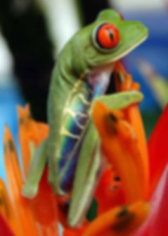 Agalychnis-callidryas | France | Axolotls et Cie