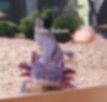 axanthique dalmatien, axolotl axanthique