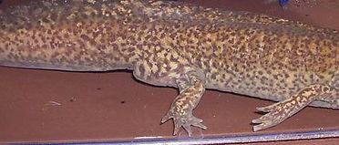 axolotl male