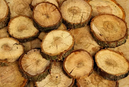 Учёные вырастили древесину в пробирке